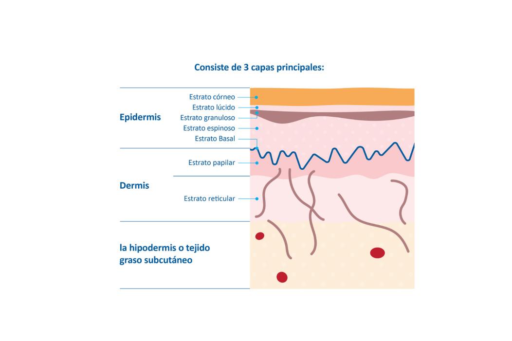 Infografico que explica las tres capas diferentes de la piel de un bebe.