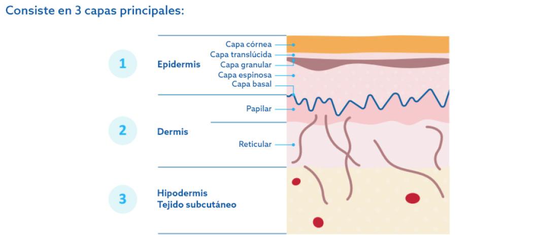 explicación gráfica capas de la piel