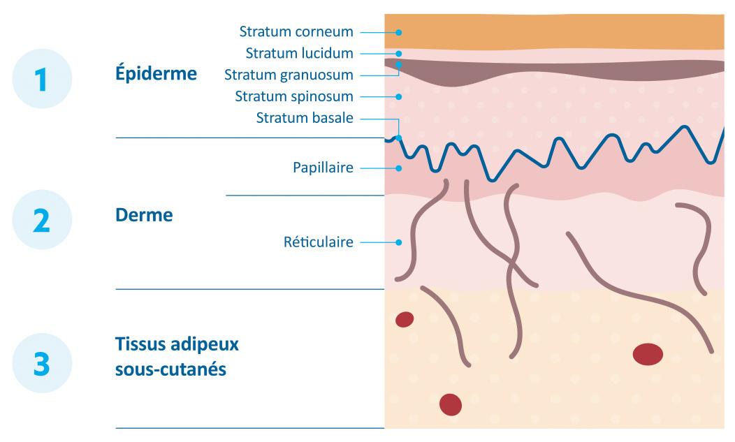 Une décomposition scientifique des couches d'une peau de bébé.