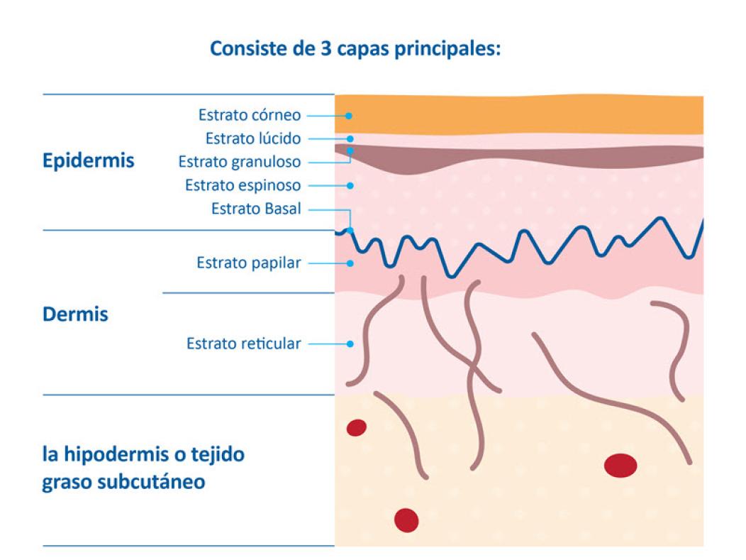 Un desgiose cientifico de las capas de la piel de un bebe