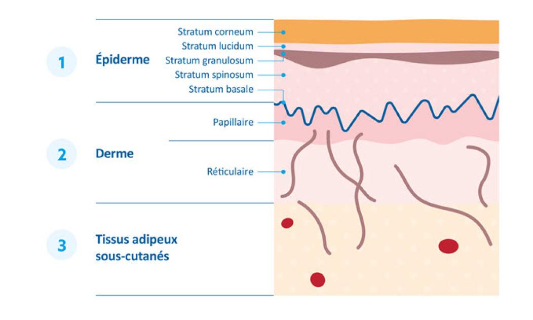 Infographie expliquant les trois différentes couches de la peau des bébés.